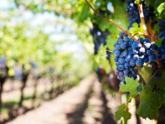 enoturismo viñedos
